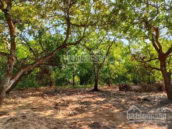 Bán vườn điều đẹp khỏi chê 2ha2 giá 750tr/ha ảnh 0