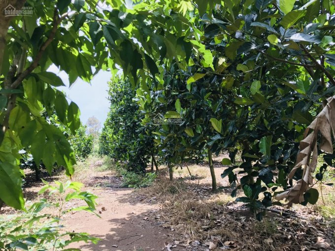Bán vườn mít, mặt tiền đường dân sinh 7m hiện hữu, quy hoạch mở rộng 16 mét, chính chủ, 0917397585 ảnh 0