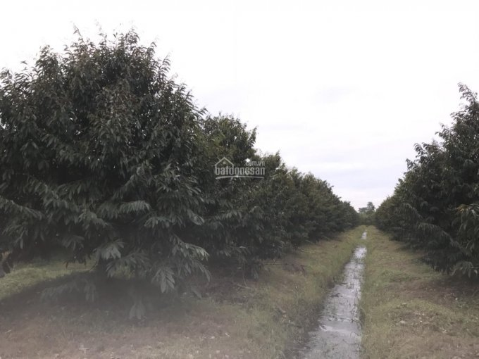 Bán 7000m2 vườn sầu riêng Monthong cây 4 năm cực tốt chuẩn bị lấy trái LH 0909491373 ảnh 0