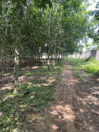 3,4 hecta đất xã Xuân Hưng, đang trồng cao su, có nhà có thổ cư ảnh 0