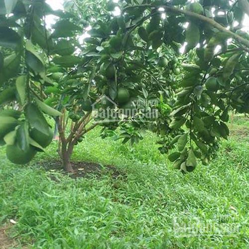 Vườn cây ăn quả 2,3 tỷ rộng 2ha đang mùa thu hoạch rộ. LH chính chủ 0968.858.810 ảnh 0