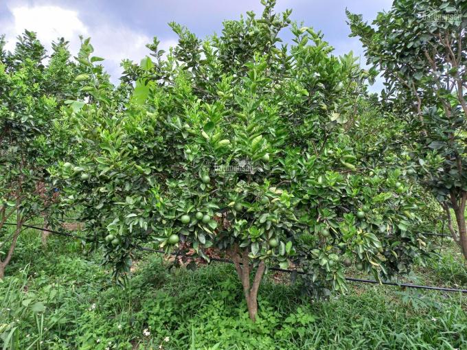 Cần bán nhanh vườn cây ăn quả cam soàn, quýt đường, bưởi da xanh, chuối, chanh, ổi ảnh 0