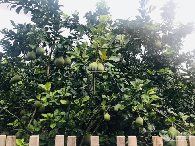 Bán đất vườn bưởi xinh xinh 1035m2 huyện Phú Tân Định Quán Đồng Nai ảnh 0