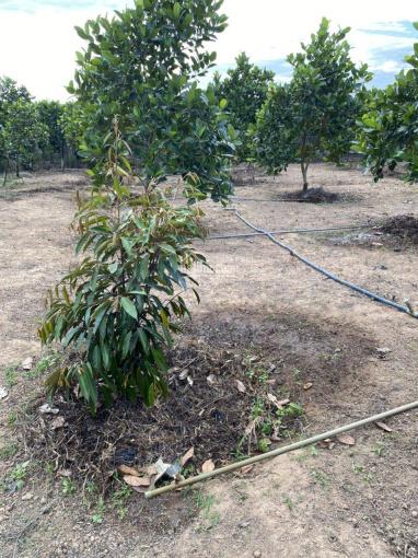 Chính chủ bán đất vườn cây ăn trái đang thu hoạch Xuyên Mộc - BRVT ảnh 0