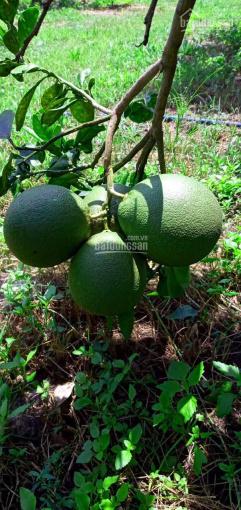 Gần 6 sào bưởi da xanh cho trái xum xuê, chủ cần bán mùa dịch Covid ảnh 0